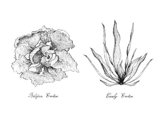 カーリーエンダイブとベルギーエンダイブの手描き