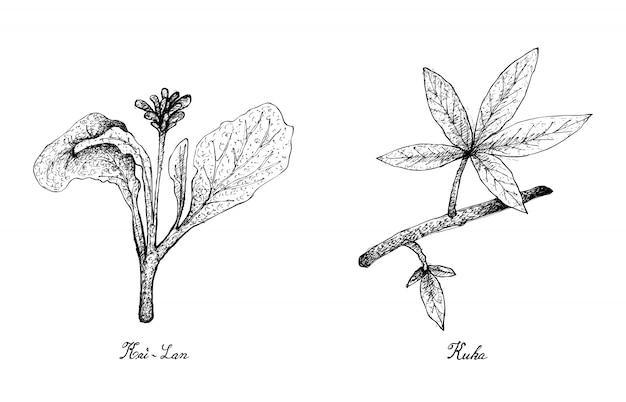 カイランとクカの葉の手描き