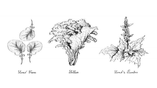 土地クレス、レタス、子羊の四分の一の手描き