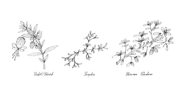 スカルピットまたはストリードロ、サンファイア、夏のスベリヒユの手描き