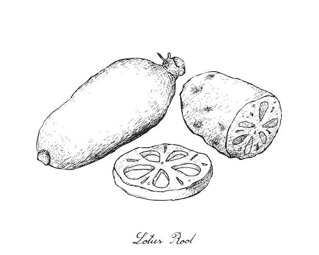 白い背景の上の蓮の根の手描き