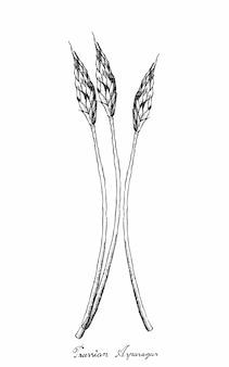 白い背景の上のプロイセンアスパラガスの手描き