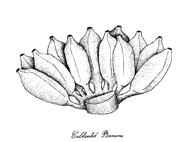 熟したアジアのバナナの束の手描き