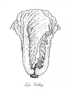 白い背景の上のナパキャベツの手描き