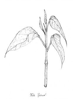 白い背景の上の水ほうれん草の手描き