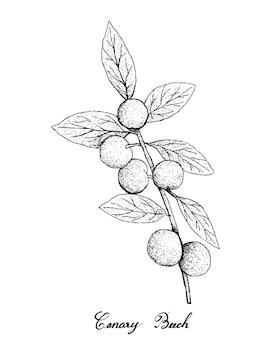 カナリアのブナ果実の手描き