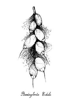 Рисованные из плодов баррингтонии эдулис на дереве