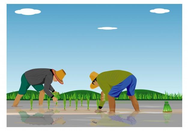 水田における農家移植イネの播種