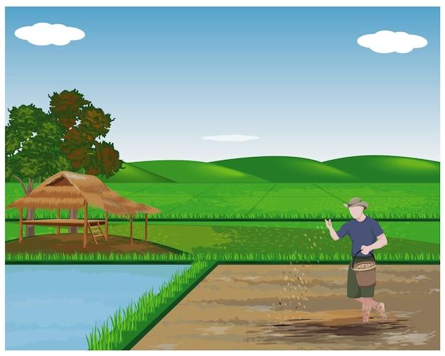 Фермер сеет рис в рисовом поле