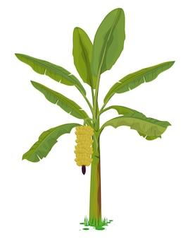 バナナ植物