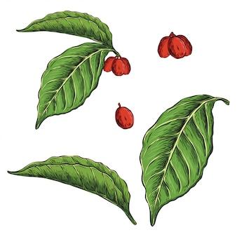 コーヒー植物の葉手描きイラスト