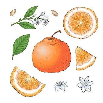 Векторный набор плодов мандарина