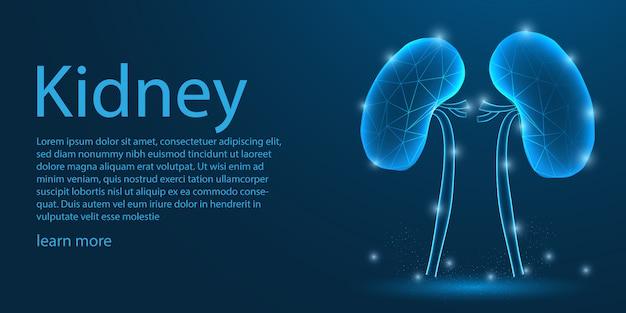 人間の腎臓医療、低ポリのコンセプト。