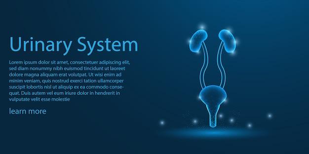 Мочевыделительная система человека, концепция киднес низкой поли.