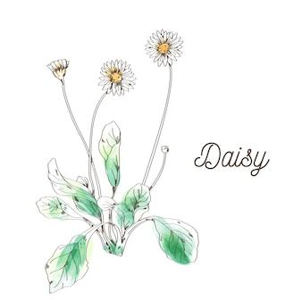 白い背景の上のデイジーの花の絵