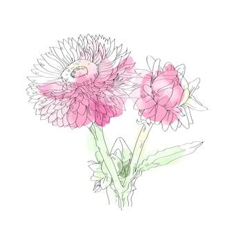 白地にピンクのわらの花イラスト