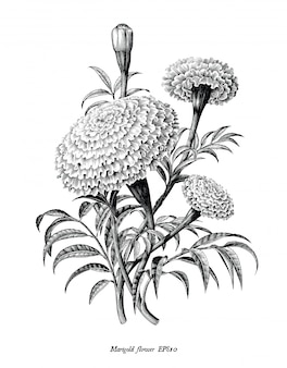 マリーゴールドの花の手は、分離されたビンテージスタイルの黒と白のクリップアートを描く