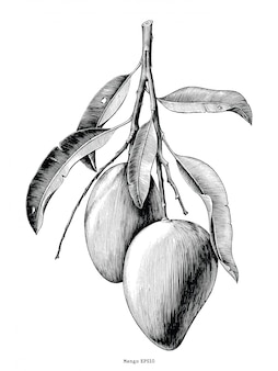 Ветвь манго рука рисовать старинные на белом фоне