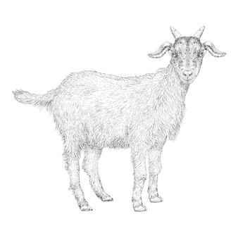 手描きのヤギのイラスト
