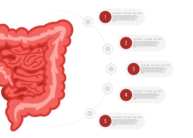 消化器系の解剖学のインフォグラフィック