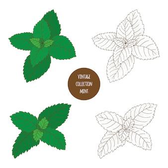 ミント。ペパーミント。白い背景に分離された化粧品植物のベクトル手描きセット