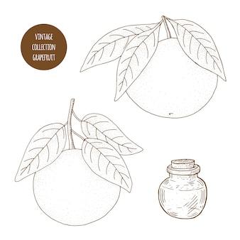 Цитрусовые. грейпфрут. вектор ручной обращается набор косметических растений изолированных иллюстрация эфирных масел компонентов. ароматерапевтические ингредиенты. эскиз коллекции природных элементов.
