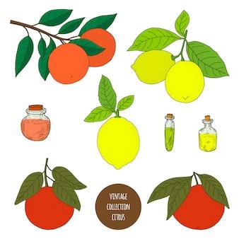 Цитрусовые. лимон. оранжевый. грейпфрут. вектор рисованной набор растений изолированы