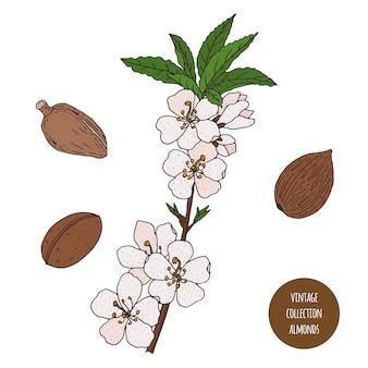 アーモンド。ヴィンテージ植物学ベクトル手描きイラストが分離されました。スケッチスタイル。キッチンハーブとスパイス。