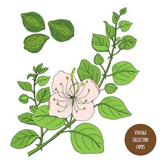 ケーパー。ヴィンテージ植物学ベクトル手描きイラストが分離されました。スケッチスタイル。キッチンハーブとスパイス。