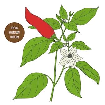 トウガラシ属。コショウ。ヴィンテージ植物学ベクトル手描きイラストが分離されました。スケッチスタイル。キッチンハーブとスパイス。