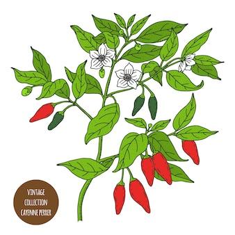 カイエンペッパー。チリ。ヴィンテージ植物学ベクトル手描きイラストが分離されました。スケッチスタイル。キッチンハーブとスパイス。