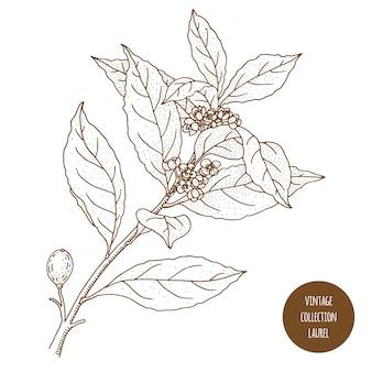 月桂樹。ベイリーフ。ヴィンテージ植物学ベクトル手描きイラストが分離されました。スケッチスタイル。キッチンハーブとスパイス。