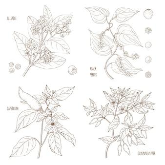 香りの良いペッパーのセット。オールスパイス、トウガラシ、ブラック、カイエン。ヴィンテージ植物学ベクトル手描きイラストが分離されました。スケッチスタイル。キッチンハーブとスパイス。