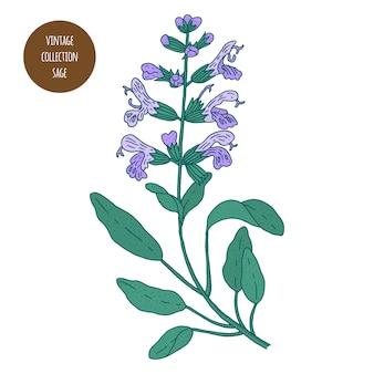 セージ。ヴィンテージ植物学ベクトル手描きイラストが分離されました。スケッチスタイル。キッチンハーブとスパイス。