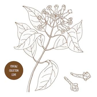 クローブ。ヴィンテージ植物学ベクトル手描きイラストが分離されました。スケッチスタイル。キッチンハーブとスパイス。
