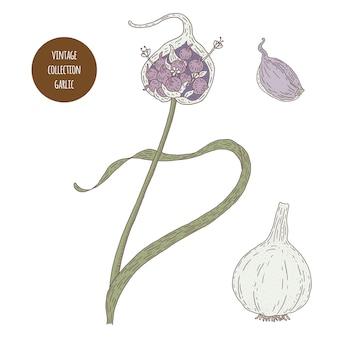 ニンニク。ヴィンテージ植物学ベクトル手描きイラストが分離されました。スケッチスタイル。キッチンハーブとスパイス。