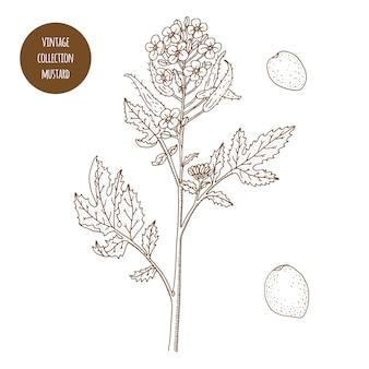 マスタード。ヴィンテージ植物学ベクトル手描きイラストが分離されました。スケッチスタイル。キッチンハーブとスパイス。