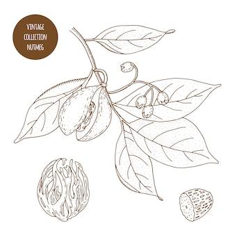 ナツメグ。ヴィンテージ植物学ベクトル手描きイラストが分離されました。スケッチスタイル。キッチンハーブとスパイス。