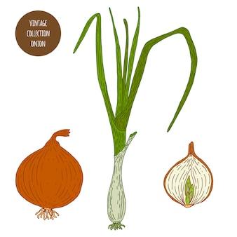 玉ねぎ。ヴィンテージ植物学ベクトル手描きイラストが分離されました。スケッチスタイル。キッチンハーブとスパイス。
