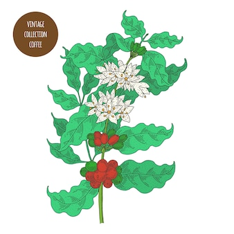 コーヒー。ヴィンテージ植物学ベクトル手描きイラストが分離されました。スケッチスタイル。