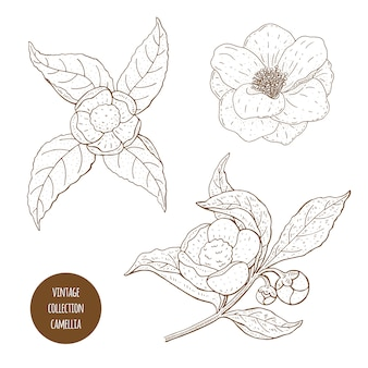 カメリアシネンシスの花と枝。化粧品、香水、医療プラント。ヴィンテージ手描きイラスト。