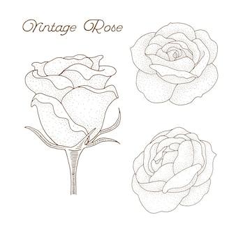 ローズ。ヴィンテージ植物学手描きイラスト。スケッチスタイル。