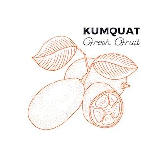 Кумкват. урожай рисованной растений, изолированных на белом