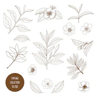 ティーツリー。アロマセラピー植物のベクトル手描きヴィンテージセット