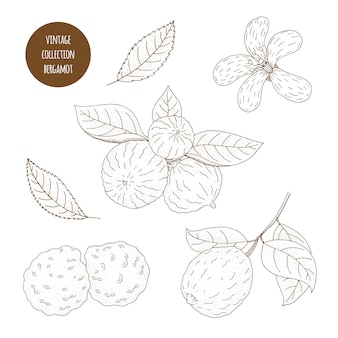 ベルガモット。白い背景に分離された化粧品植物のベクトル手描きセット