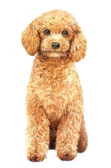 手描きプードル水彩犬。