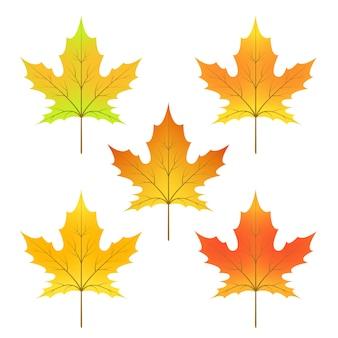 カエデの葉の周期