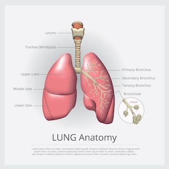 肺の詳細図