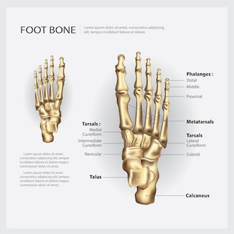 人間の足の骨のベクトル図