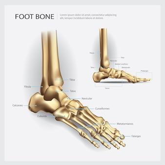 足骨の解剖学のベクトル図